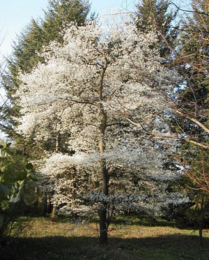 Serviceberry, Shadblow Trees Flowers For Sale