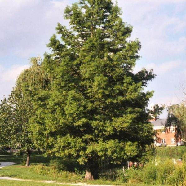 Cypress, Bald Tree for sale