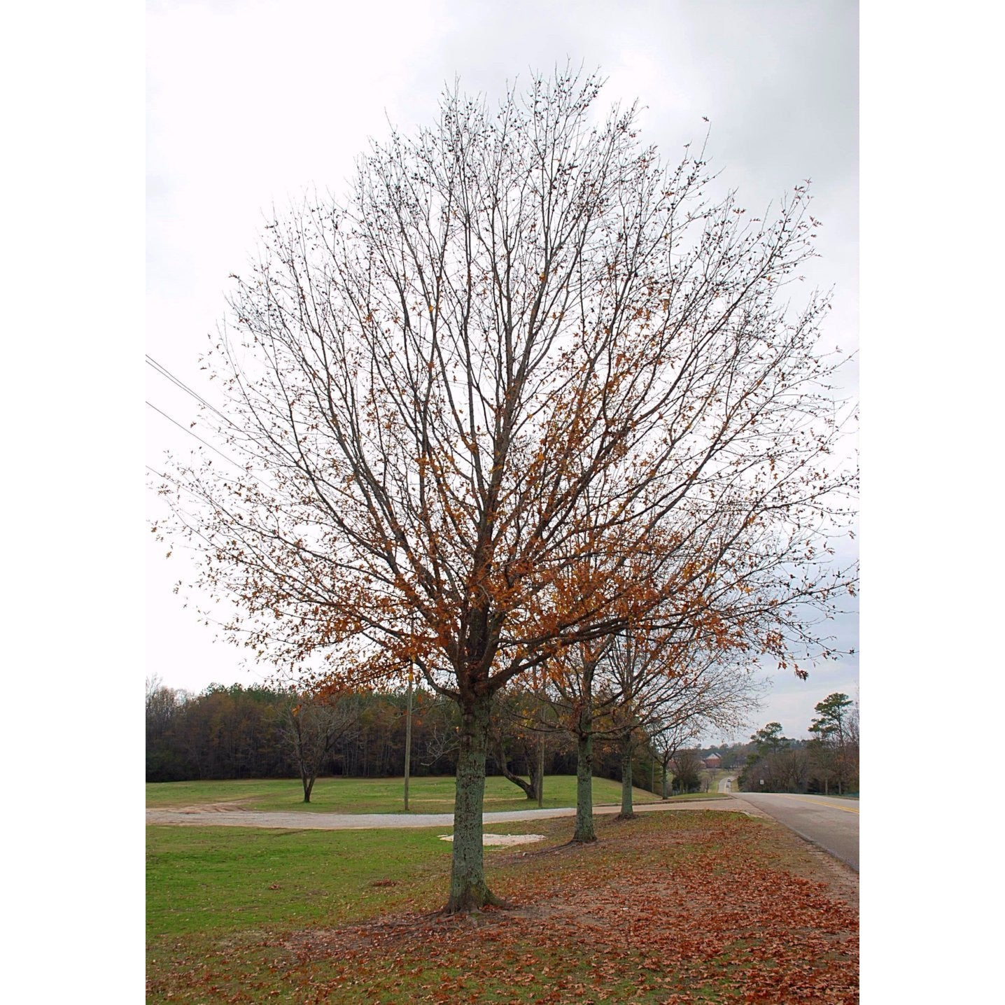 Oak, Nuttall Tree For Sale