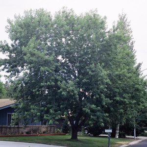 Maple, Silver Tree For sale