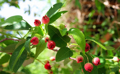 Allegheny Serviceberry Tree Berries For Sale