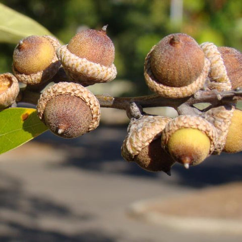 Oak, Southern Red Tree Acorns For Sale