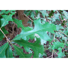 Oak, Overcup Tree Leaves For Sale