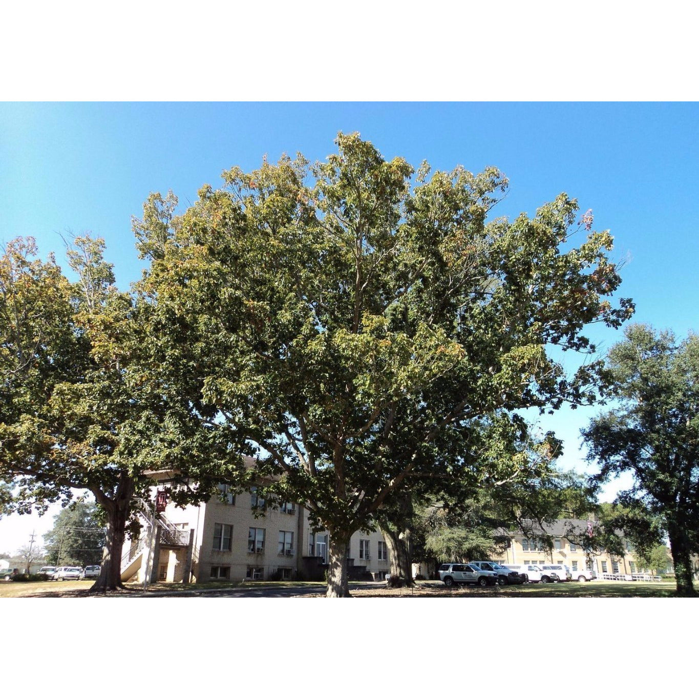 Sawtooth Oak Tree For Sale