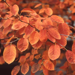 Serviceberry, Shadblow Trees Fall Color For Sale