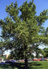 Sycamore Tree For Sale