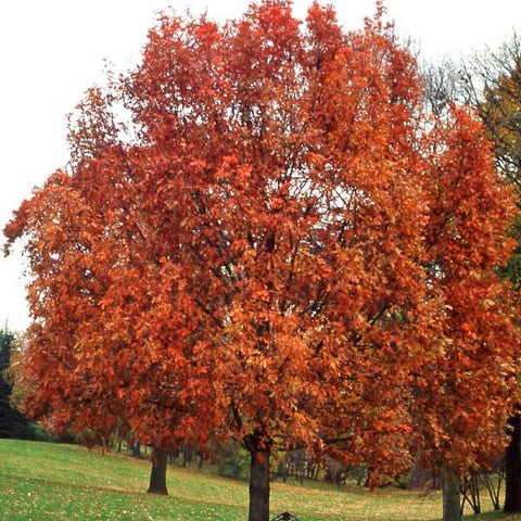 White Oak Tree Fall For Sale