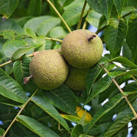 Black Walnut Tree Pod For Sale