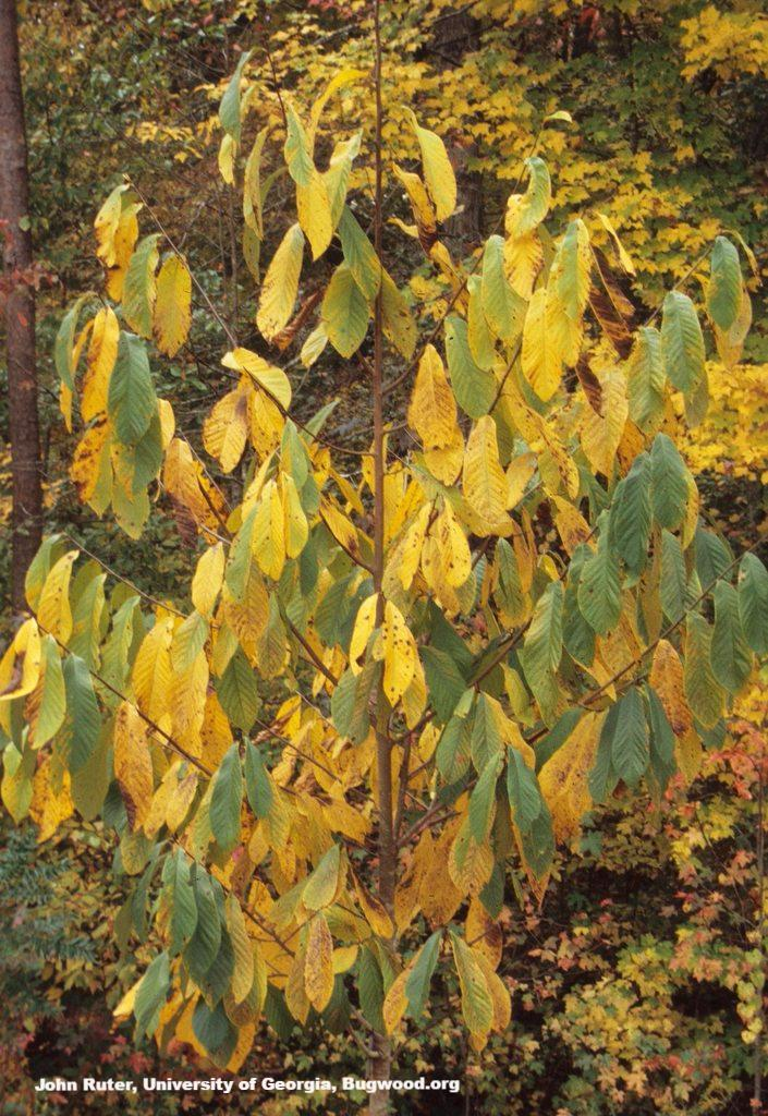 Pawpaw Tree Fall For Sale