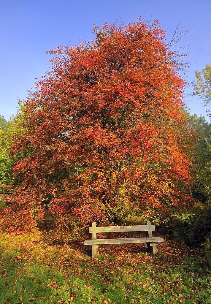Allegheny Serviceberry Tree Fall For Sale