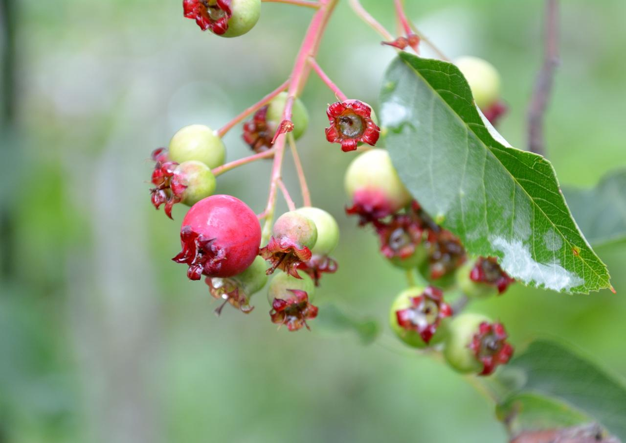 Shadblow Serviceberry Tree Fruit For Sale