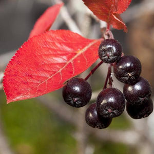 Black Chokeberry Fruit for sale