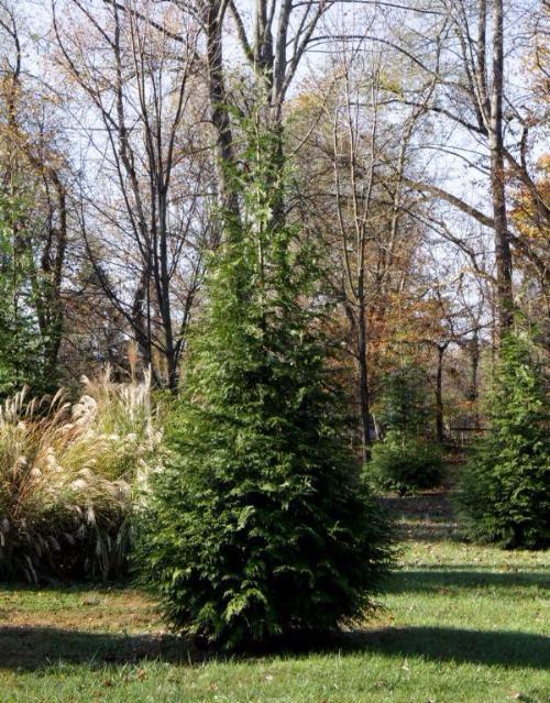 Thuja Green Giant Arborvitea for sale
