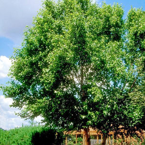 River Birch Heritage for sale