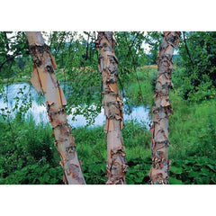 River Birch Heritage bark for sale