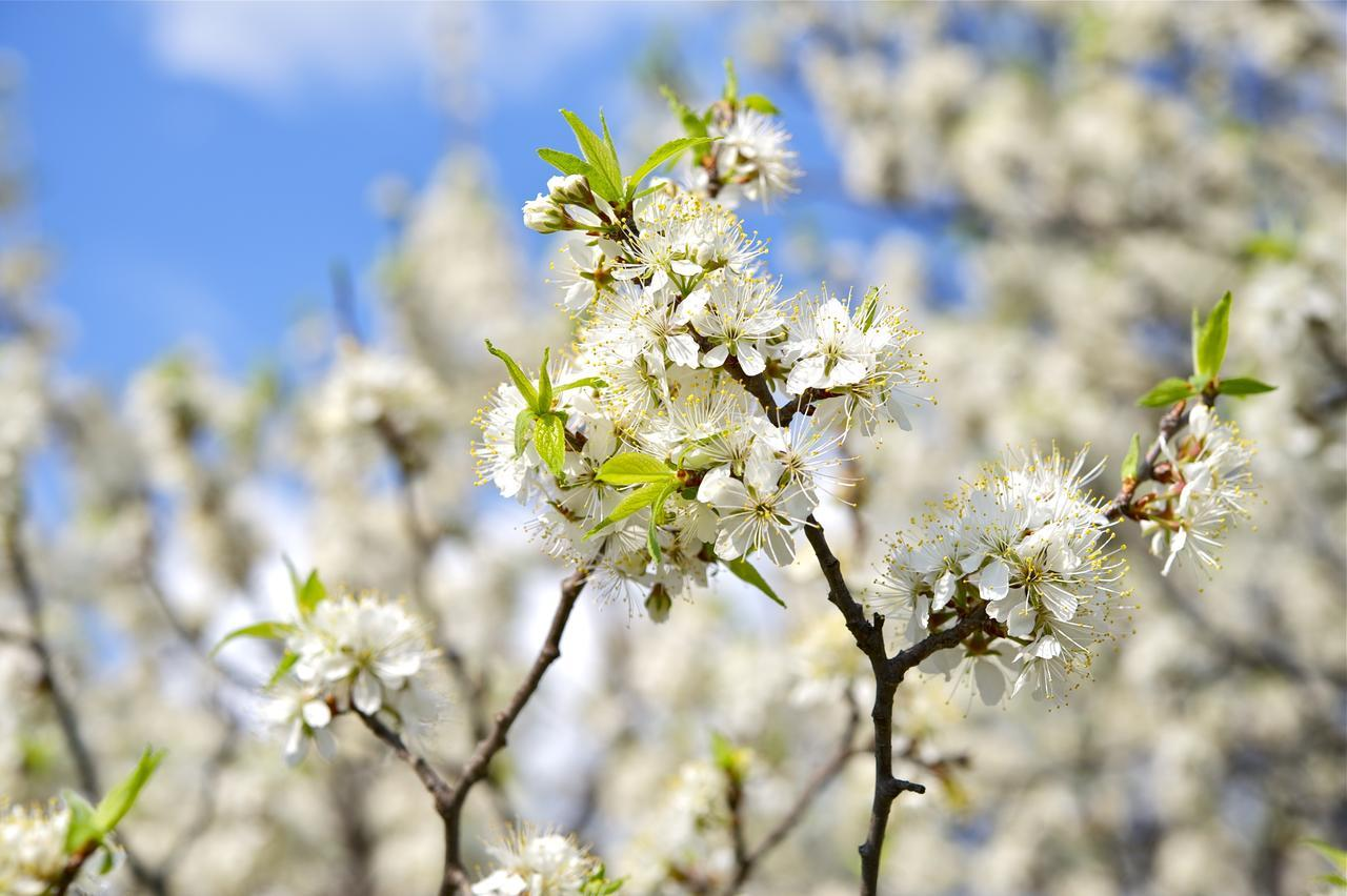 American Plum Tree Bloom For Sale