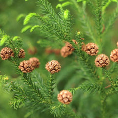 Cryptomeria, Yoshino Needles tree for sale