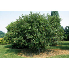 Chokeberry, Black Tree for sale