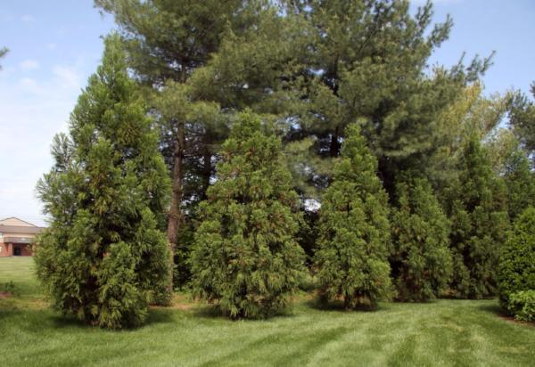 Cryptomeria, Yoshino Trees for sale