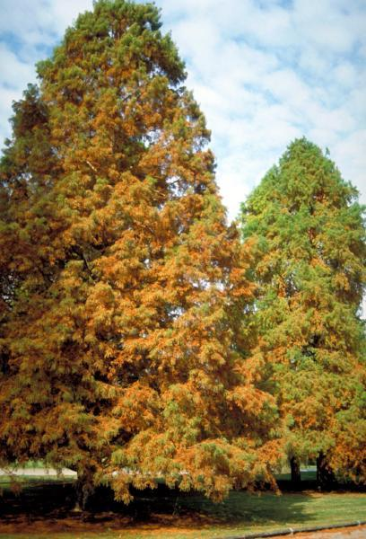 Cypress, Bald Tree fall for sale