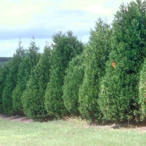 Murray Cypress Tree For Sale