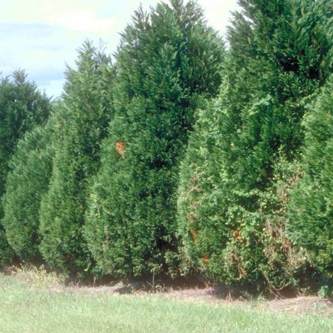 Cypress, Leyland Trees for sale