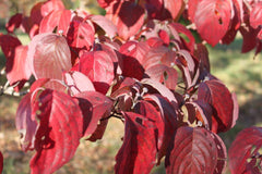 Dogwood, Flowering Fall Color for sale