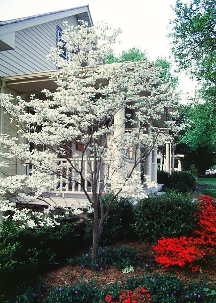 Dogwood, Flowering Tree for sale