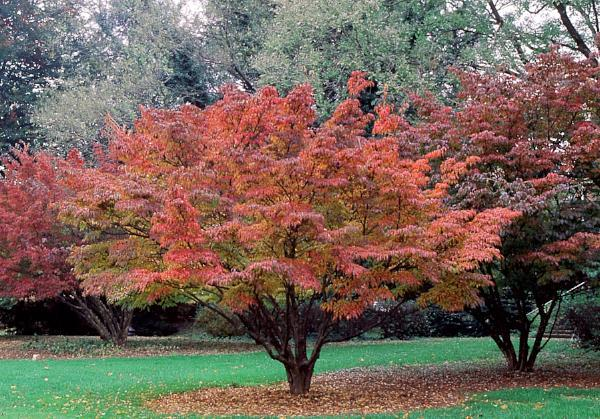 Dogwood, Kousa Fall Colors for sale