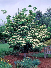 Dogwood, Kousa Trees for sale