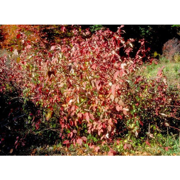 Dogwood, Red Osier Fall Tree for sale