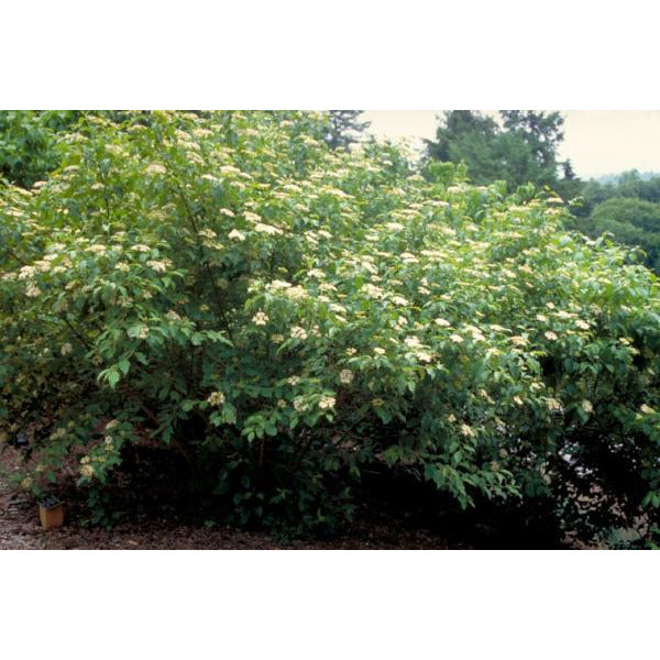Dogwood, Red Osier Tree for sale