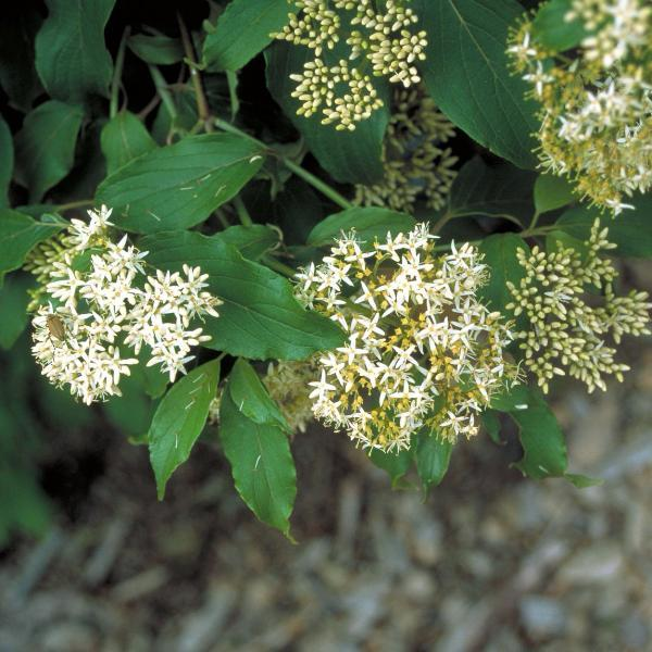 Dogwood, Red Osier Flowers Tree for sale