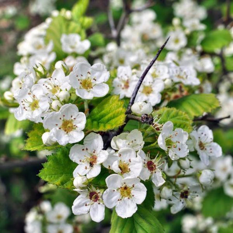 Washington Hawthorn Bloom Flowers for sale