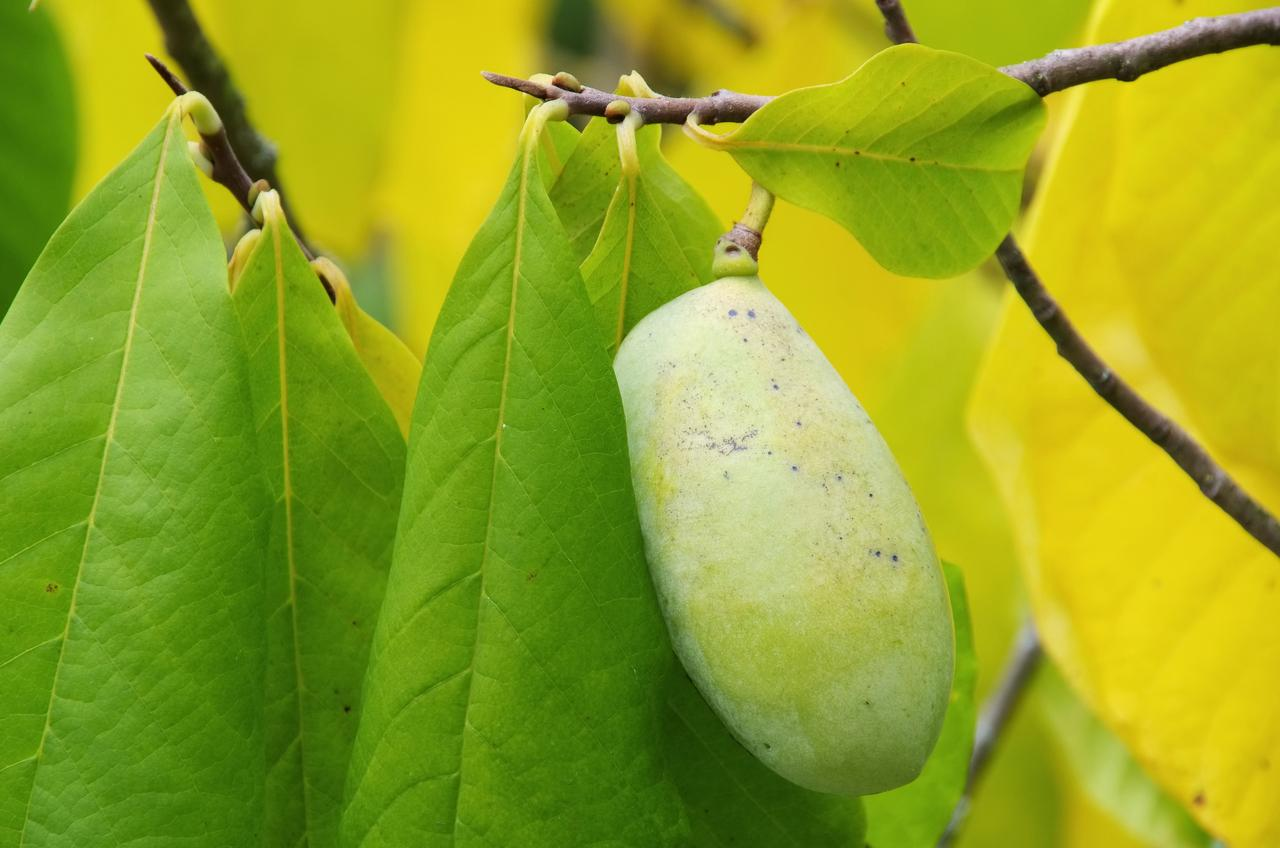 Pawpaw Tree Fruit For Sale