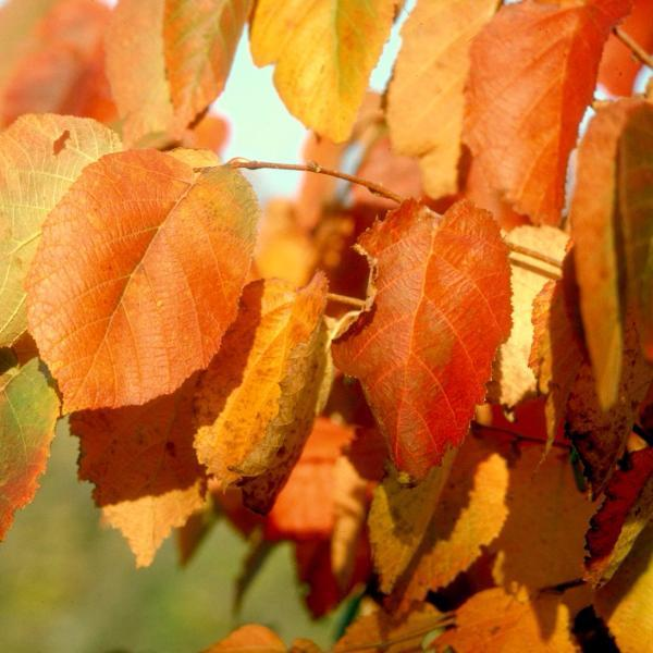 Hazelnut Fall Colors Tree for sale