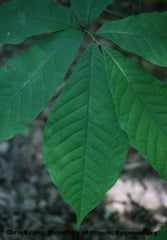 Pawpaw Tree Leaves For Sale