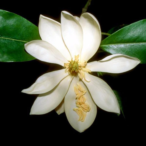 Magnolia, Little Gem Flower for sale