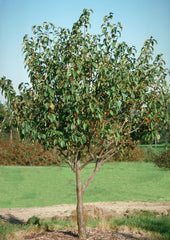 Dolgo Crabapple Tree For Sale
