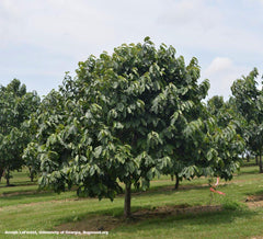 Pawpaw Tree For Sale