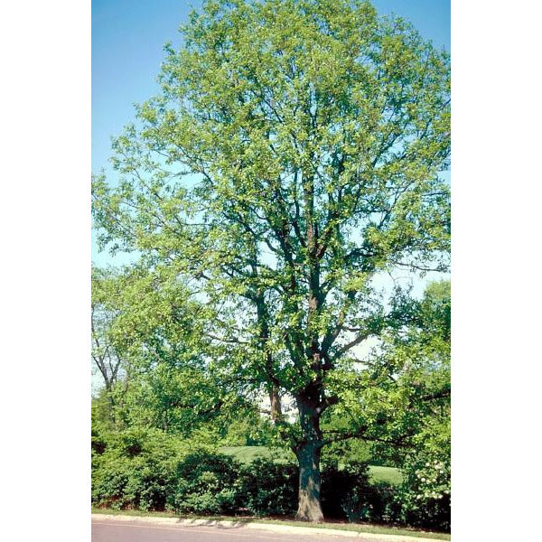 Oak, Bur Tree For Sale
