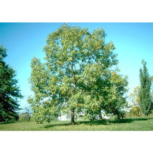 Oak, Chinkapin Tree For Sale