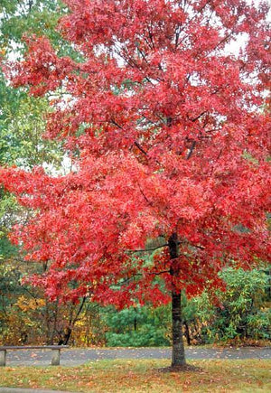 Oak, Northern Red Tree Fall Color For Sale