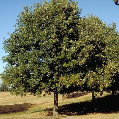 Oak, Overcup Tree For Sale