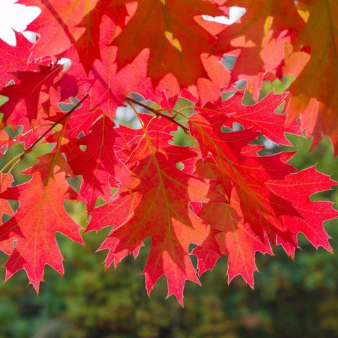 Oak, Northern Red Leaf Fall Color For Sale