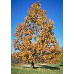 Sawtooth Oak Tree Fall Foliage For Sale