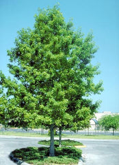 Shumard Oak Tree For Sale