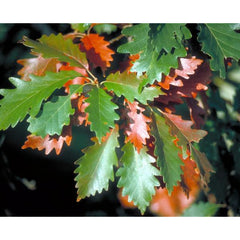 Oak, Swamp Chestnut Tree For Sale