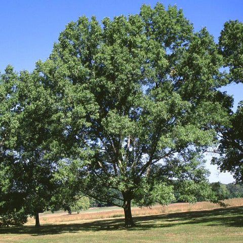 Oak, Swamp White Tree For Sale