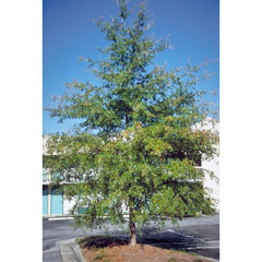 Willow Oak Tree For Sale